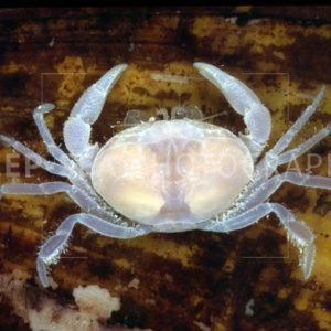 abyssal crab
