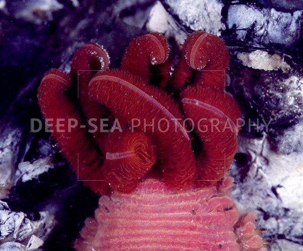 alvinella vent tubeworm