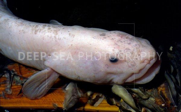 black smoker fish