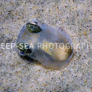 buried cuttlefish
