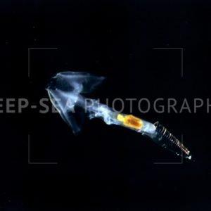 clio pteropod