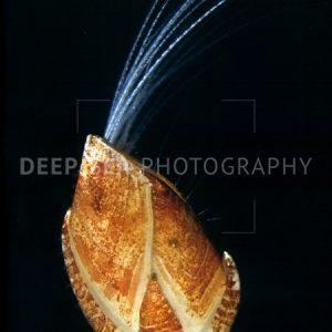 deep-sea barnacle
