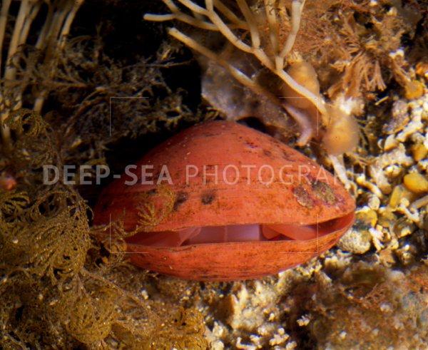 deep-sea brachiopod