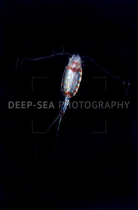 deep-sea copepod