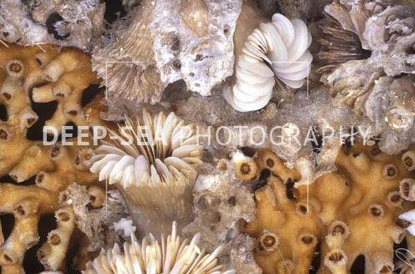 deep-sea coral thicket