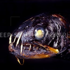deep-sea fish head