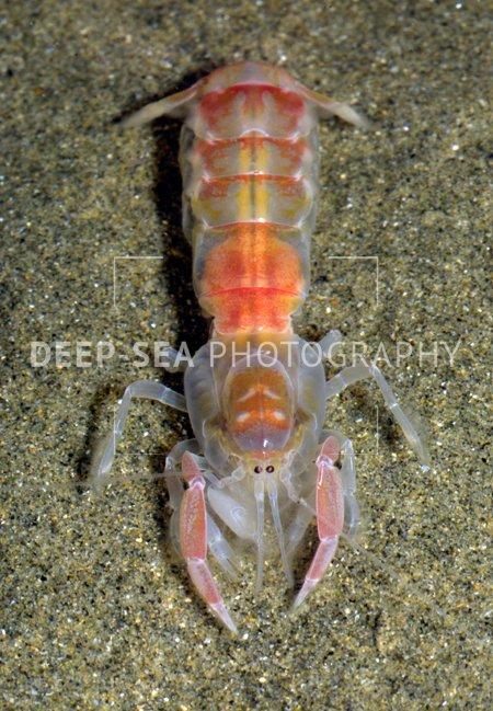 ghost shrimp head