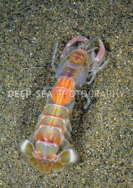 ghost shrimp sand