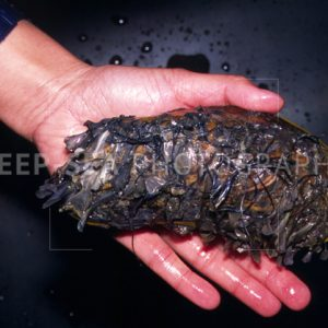 hydrothermal vent mussel