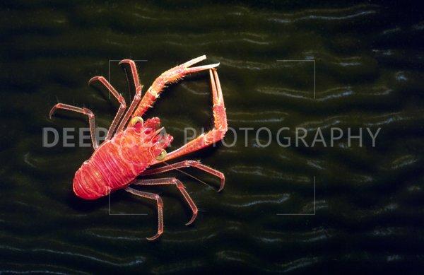 munida squat lobster