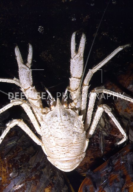 munidopsis deep-sea
