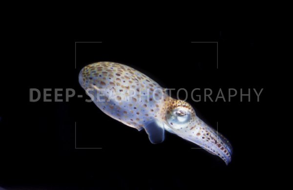 pacific cuttlefish