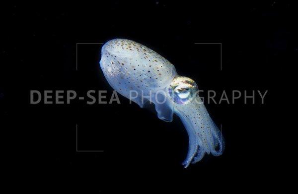 sepioloidea squid