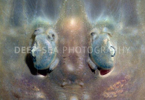 skate fish eyes