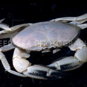 vent crab