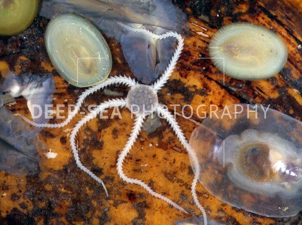 vent mussel animals